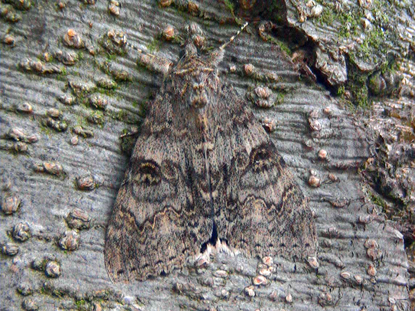 This image was taken using a video-camera whilst on a fishing trip and was the first Moth-Shot I ever took.