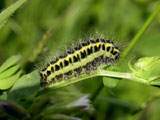 Larva - click to enlarge