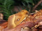 'Northern Eggar' female - click to enlarge